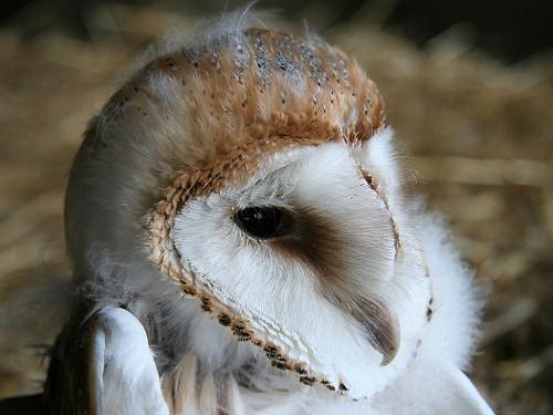 Ardgrain Barn Owl Chick