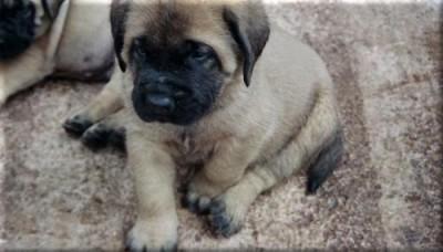Old English Mastiff Puppy