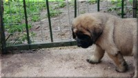 Old English Mastiff Puppy