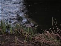 Ellon River & Ducks