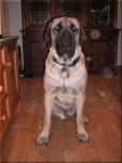 Old English Mastiff - Oskar in kitchen