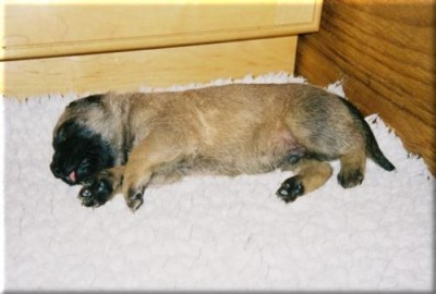 Old English Mastiff Puppy - Loki Sleeping