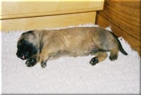 Old English Mastiff Puppy - Loki Sleeping
