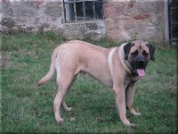 Old English Mastiff
