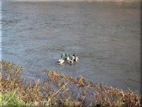 Ythan river & ducks